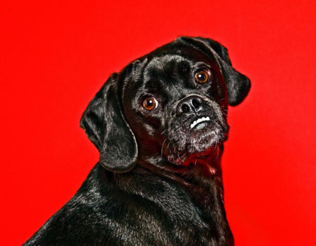 Minneapolis Dog Portraits Photographer - BD Portraits Studio - 952495.4555
