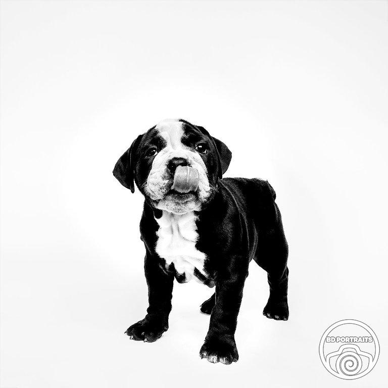 Frankie & Stella - BD Portraits - Minneapolis Pet Photographer